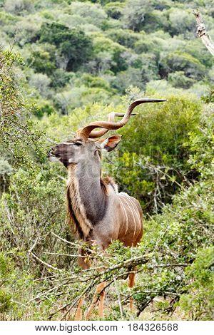Kudu Eating Peacefully On A Leaf