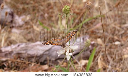 Butterfly resting on Scabiosa Pincushion Flowers growing in South Australian bushland along a bush walking track