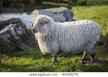 full body of merino sheep in livestock farm new zealand