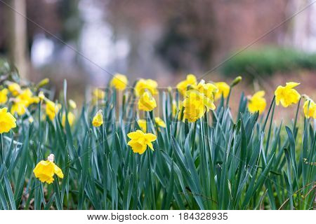 Day view of new daffodils outdoor town.