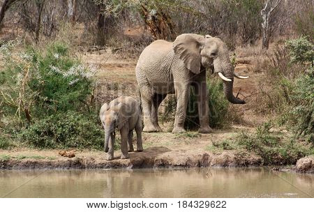 A female elephant (Loxodonta africana) and her calf come to the river to drink.