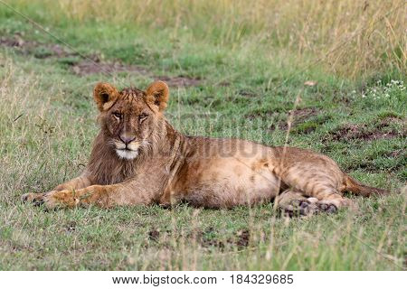 A young lion (Panthera leo) lies in the grass.