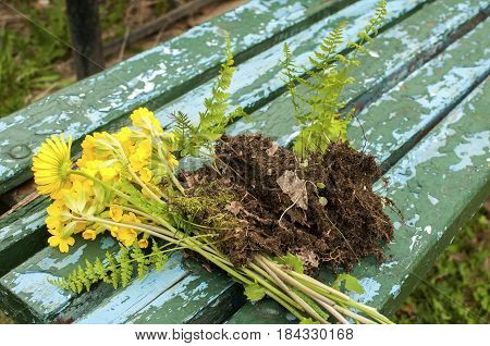 Bouquet of yellow wild fresh forest flowers and fern with grafting soil on grunge wooden blue bench boards background