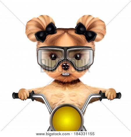 Funny biker girl of yorkie sitting on a chopper and wearing aviator goggles. Fast city transport concept. 3D illustration with clipping path