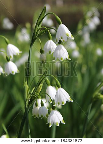 The beautiful white flowers of Leucojum aestivum also known as Summer snowflake or Loddon Lily, growing outdoors in a natural situation.