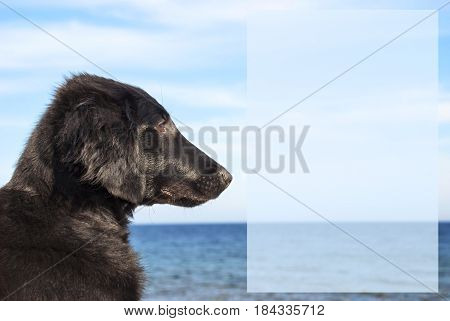 Empty Field With Copy Space For Advertisement.. Flat Coated Retriever Dog Infront Of Ocean. Water In The Background