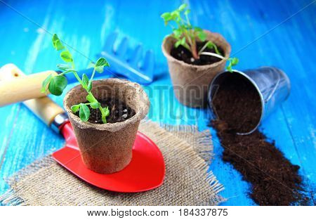 seedlings in the peat pots with garden tools on blue background