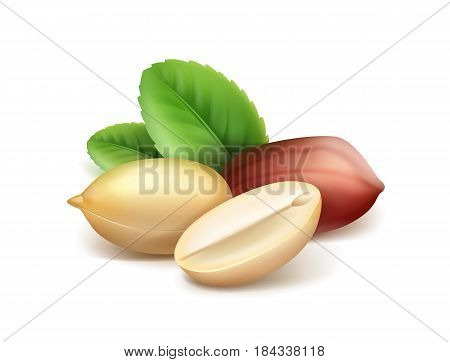 Vector realistic peanut kernels with leaves closeup side view isolated on white background