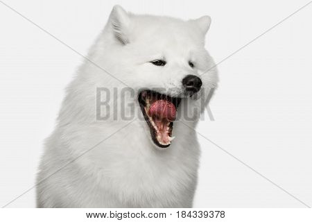 Close-up Portrait of Funny Samoyed Dog Yawn isolated on White background, front view