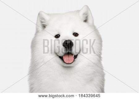 Portrait of Furry Samoyed Dog isolated on White background, front view