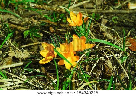 Primroses flowering crocus. One of the very first flowers to spring. The warm rays of spring flowers and crocuses.