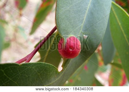 Eucalyptus gum leaves along an Australian bush walking trail track with Leaf Gall nodule bump