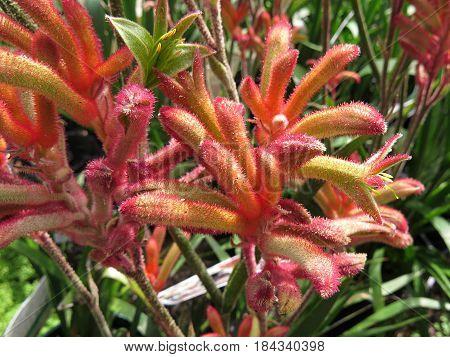 Kangaroo paw Haemodoraceae flower native Australian plant