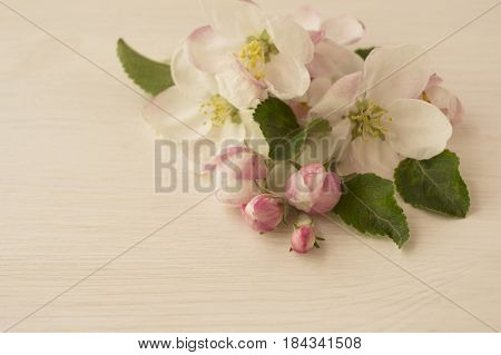 Apple blossoms on a light wooden background. Apple tree branch in bloom with copy space for text.