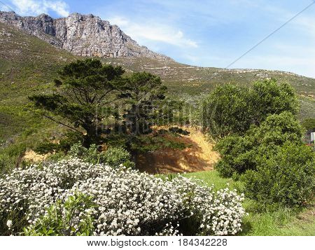 FROM CAPE TOWN SOUTH AFRICA, LANDSCAPE, WITH FLOWERS IN THE FORE GROUND AND PART OF THE TABLE MOUNTAIN NATIONAL PARK IN TH BACK GROUND 21xs