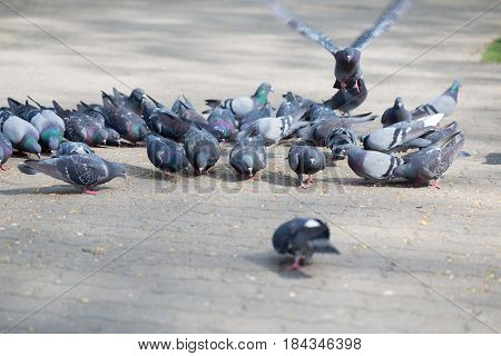 Feeding Pigeons In The City Park In The Spring