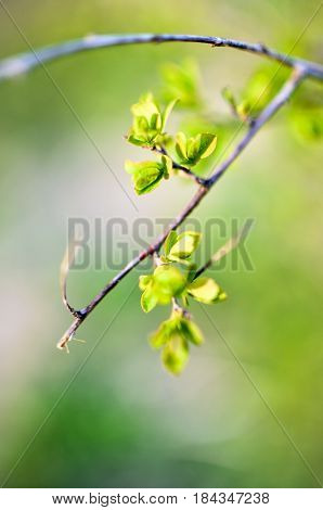 Macro Spring View Of Tree Brunch With Green Leaves