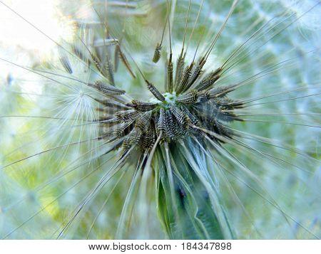 photography with scene summer dandelion in stiletto macro