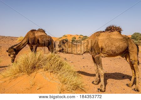 Wild camels in nature of Erg Chebbi area in Morocco