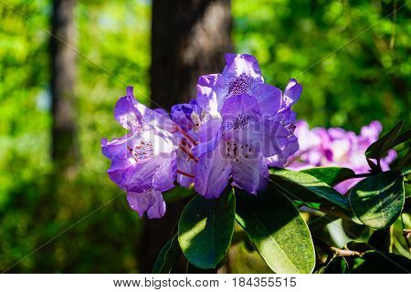 Close-up of Rhododendron in Spring. Purple Rhododendron (Rhododendron ferrugineum)