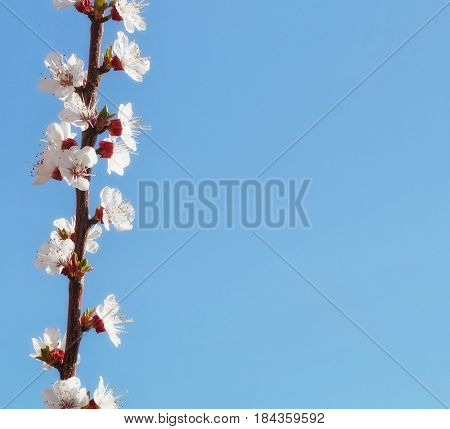 Branch of blossom apricot on blue sky background