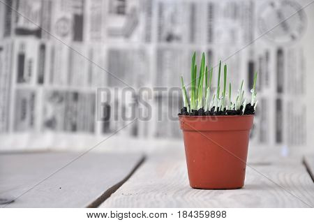 A small sprouting grass in a brown pot on wooden table on newspaper background.
