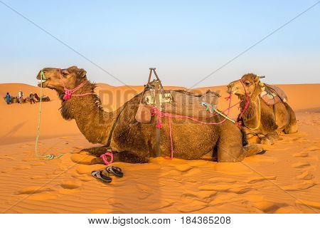 ERG CHEBBI ,MOROCCO - APRIL 4,2017 - Camels used for tours into the sand dunes of Erg Chebbi (Merzouga).The dunes of Erg Chebbi reach a height of up to 150 meters.