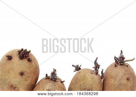 The potatoes with sprouts on white background