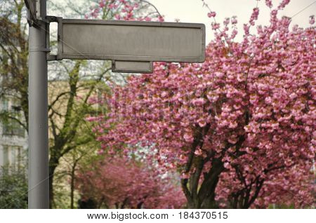 Empty nameplate for the street name on the background of blossoming pink trees in the spring.