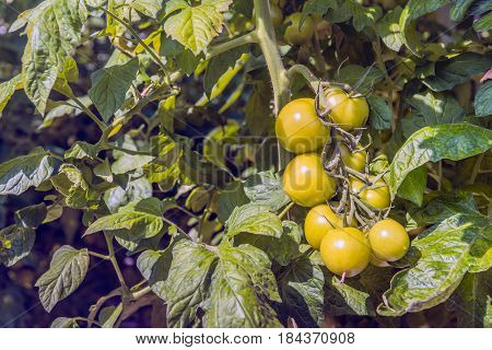 Slowly the hydroponically cultivated tomatoes are coloring red in the glasshouse of a Dutch tomato grower.