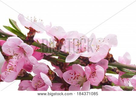 Fresh Pink cherry blossom twig close up isolated on white background