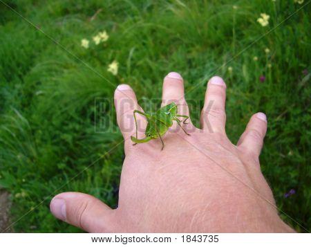 Green Grasshopper Sits On Palm