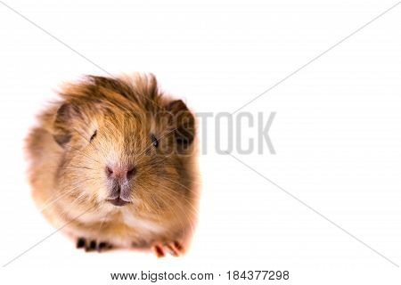 Cavy - Cute Pet