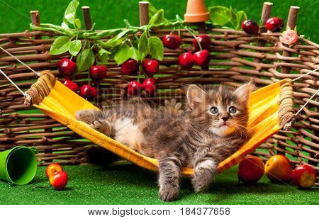 Cute fluffy kitten on the hammock over wattle fence background