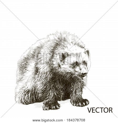 Wolverine sitting sketch vector graphics black and white drawing