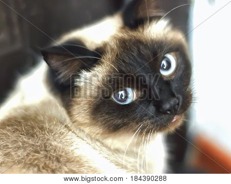 Siamese Cat With Blue Eyes, Looking Directly