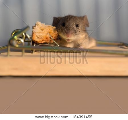 string mousetrap with bait and cute house grey mouse or rat small rodent animal sitting at on blurred background copy space. marketing and crisis freedom hopelessness concept