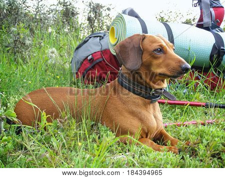 Funny little dog rests next to a big backpack lies in a green lush grass and looking into the distance. Difficult travel for all.