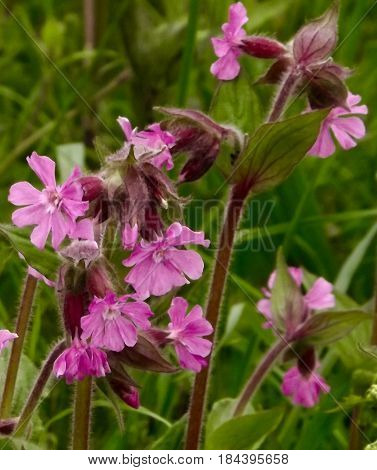 Red Campion, a common wild flower in May