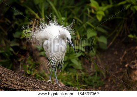 The Little egret showing the filamentous feather plumage of the breeding season. Egrets live in wetlands and adept fishers.