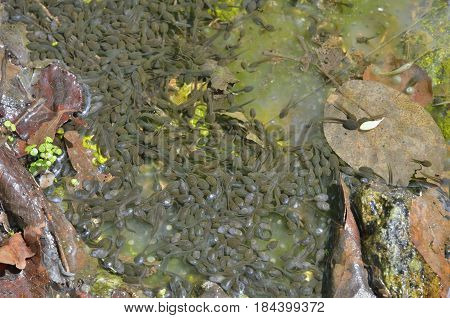 A close up of the tadpoles in water.