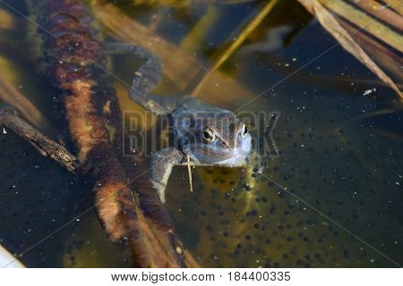 Lonely male of moor frog in spawning blue color with caviar hiding in the shadow between water plants in swap