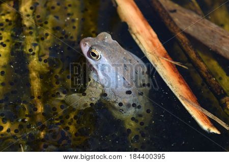 Lonely male of moor frog in spawning blue color with guarding his caviar between water plants in the lake