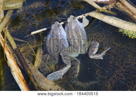 Two males of moor frog in spawning blue color between caviar and algae in swap