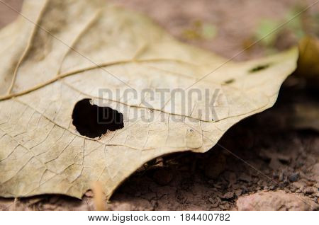 leaf with hole by bug eaten big hole
