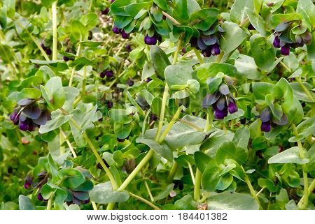 Cerinthe Major, 'Purpurescens', a plant with blue grey flowers