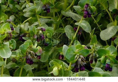 Cerinthe major 'Purpurescens', a plant with blue grey flowers