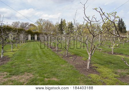 Garden with formed fruit trees in springtime. Flower blossom.