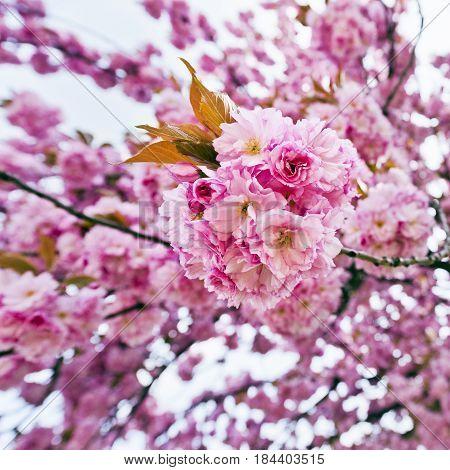 Pink blossoms of sakura tree in springtime