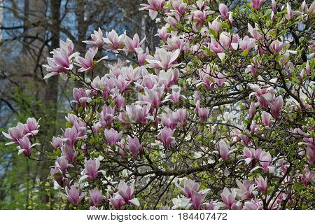 Krone magnolia with white and pink flowers